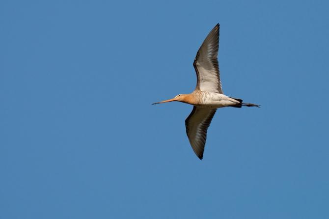 Grutto   Black-tailed Godwit   Limosa limosa / Arnold Meijer - Blue Robin