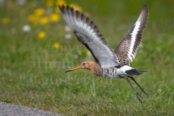 Grutto / Black-tailed Godwit