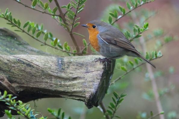 Roodborst   European Robin   Erithacus rubecula / Arnold Meijer - Blue Robin
