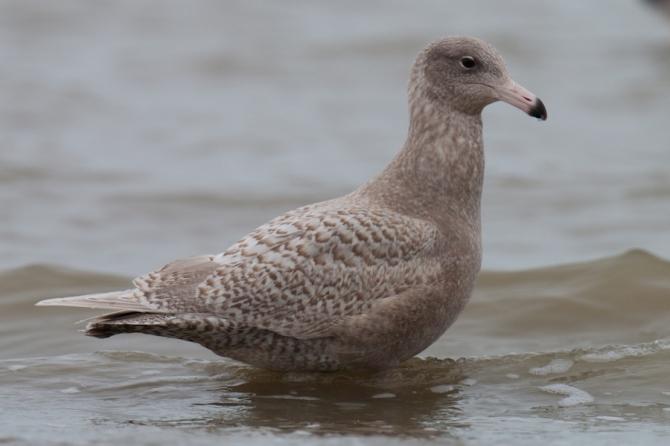 Grote Burgemeester | Glaucous Gull | Larus hyperboreus / Arnold Meijer - Blue Robin