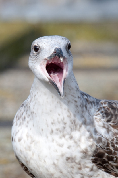 Grote Mantelmeeuw | Great Black-backed Gull | Larus marinus / Arnold Meijer -  Blue Robin